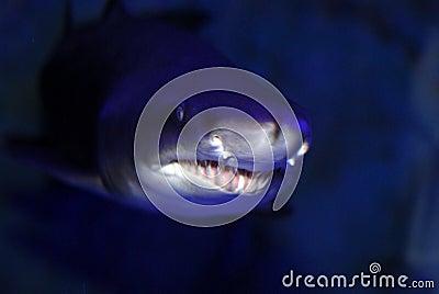 Shark close up