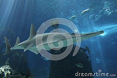 Shark at Lisbon Oceanarium