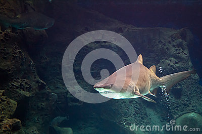 Shark in natural aquarium