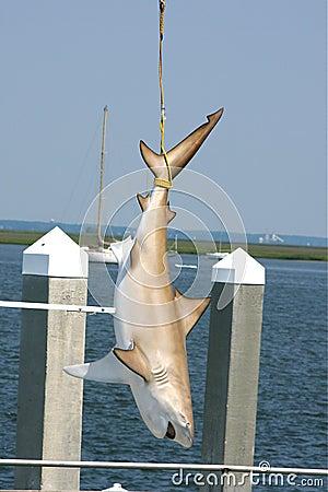 Shark tied up