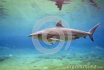 SharkA