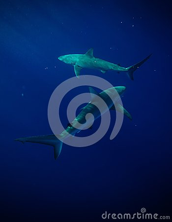 Free Sharks Royalty Free Stock Photography - 84026527