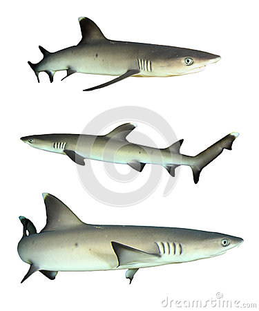 Free Sharks Isolated Royalty Free Stock Images - 53242299