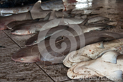 Sharks sold at a fishmarket