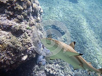 Sharkup