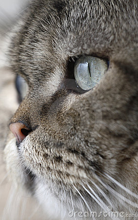 Free Sharp Cat S Eye Stock Photos - 4478313