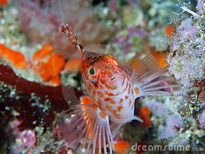Sharp-headed hawkfish