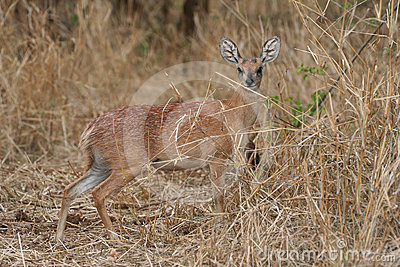 Sharp s Grysbok