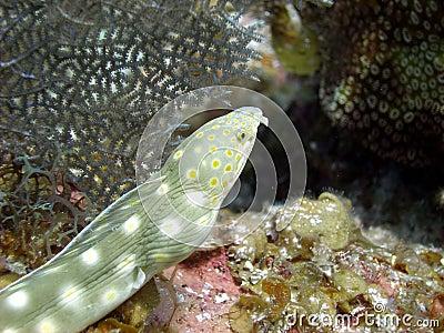 Sharp tailed eel