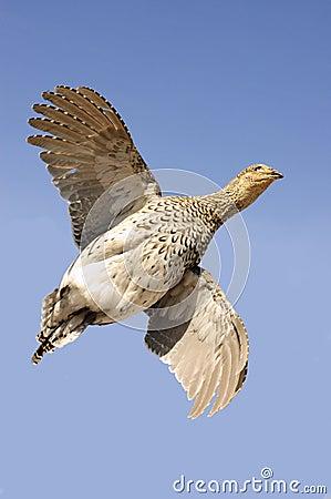 Free Sharp-tailed Grouse Stock Photos - 13678613