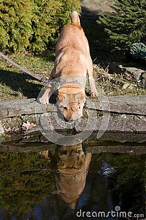 Free Sharpei Dog Drinking Stock Photo - 8727400