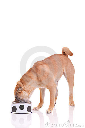 Sharpei dog having a meal