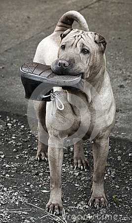 Sharpei dog with shoes toy in her mouth