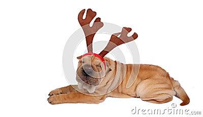 Sharpei dog weaing antler