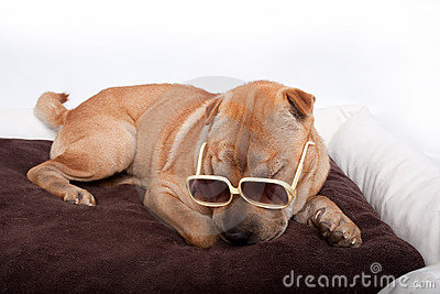 Sharpei dog wearing sunglass