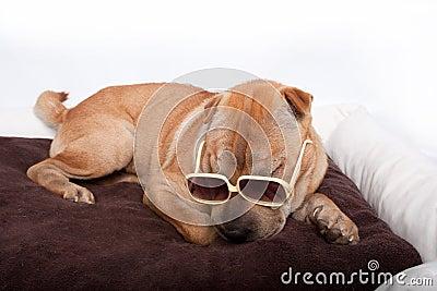 Sharpei dog wearing sunglass