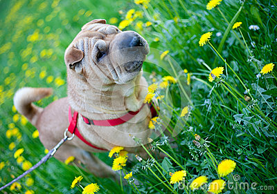 Sharpei dog with yellow flowers