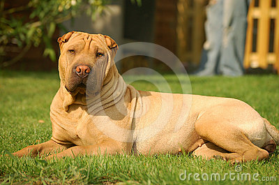 Sharpei in the grass