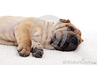 Sharpei puppy