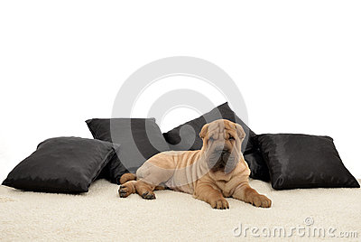 Sharpei puppy with black pillows