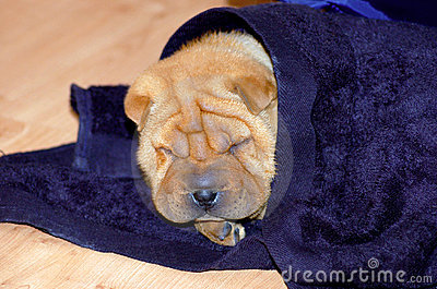 Sharpei Puppy Dog Sleeping