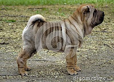 Sharpei puppy dog stands