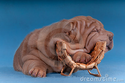 Sharpei puppy sleeping on a wine bottles hanger