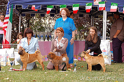 Sharpei puppy winners Editorial Stock Image