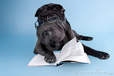 Sharpei reading a book