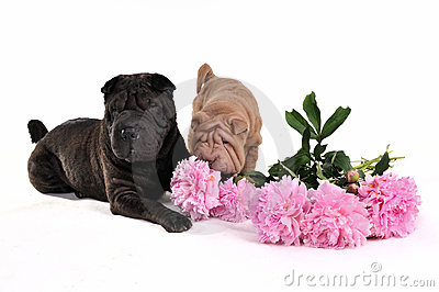 Sharpei Sniffing Flowers