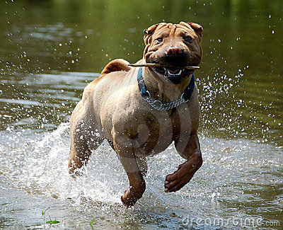 Sharpei in the water
