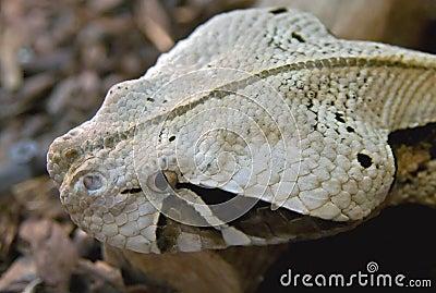Sharpnose viper 1