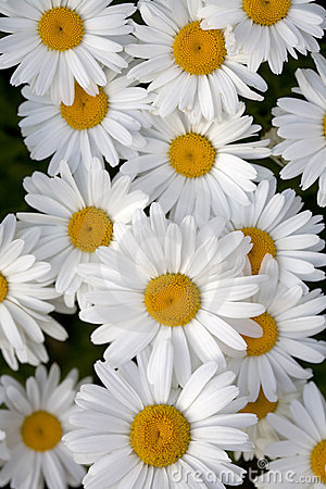 Shasta daisy flowers in bloom