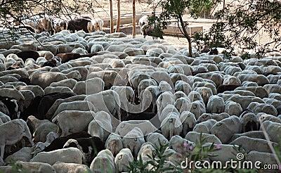 Sheared sheep