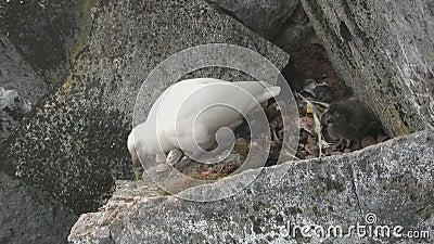 Sheathbill neigeux de poussin femelle et duveteux se reposant sur une étagère de roche où il y a une prise clips vidéos