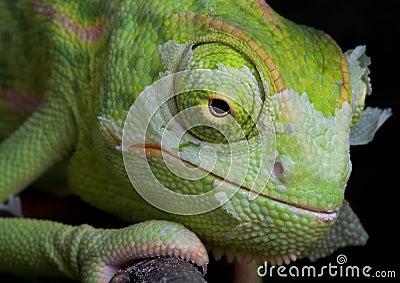 Shedding Chameleon 2