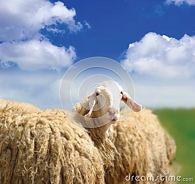 Free SHEEP Royalty Free Stock Image - 11352616