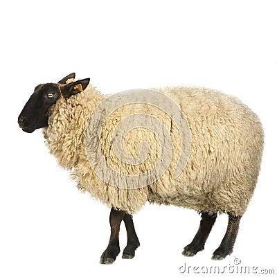 Free Sheep Stock Photos - 2333303