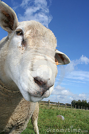 Free Sheep Stock Photo - 260580