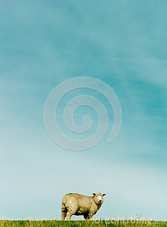 Free Sheep Stock Images - 28219364