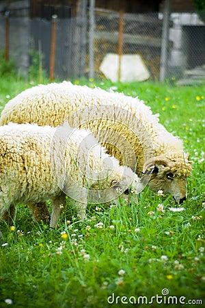 Free Sheep Stock Photography - 5917922