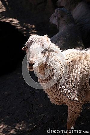 Free Sheep Royalty Free Stock Image - 6324956