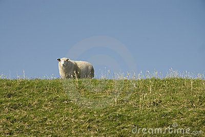 Sheep above on the dike