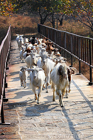 Sheep across the bridge