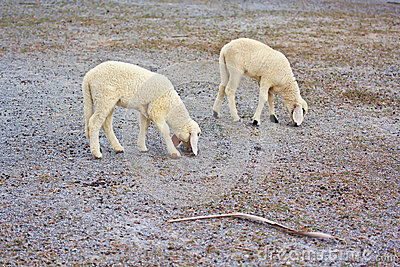 Sheep baby portrait