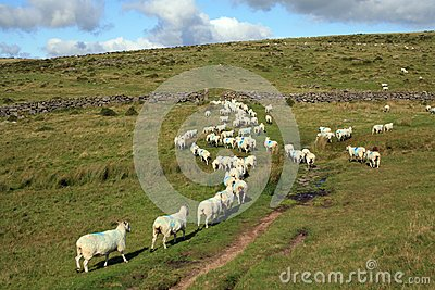 Sheep being herded on Dartmoor near Littaford Tors