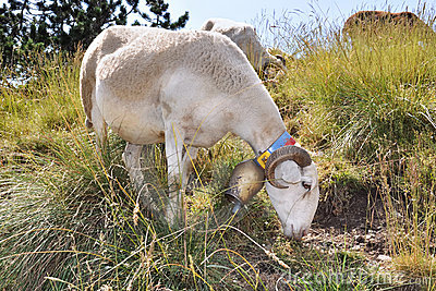 Sheep with a bell around his neck