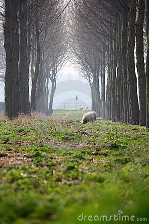 Sheep and canopy