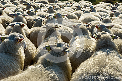 Sheep cattle in Holland