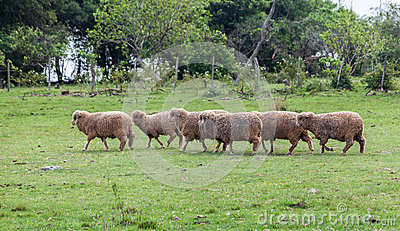 Sheep Cattle